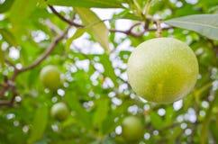 Apocynaceae Royalty Free Stock Photos