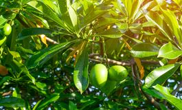 Cerbera odollam samobójstwa drzewo, Pong-pong, Othalanga drzewo obraz stock