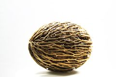 Cerbera odollam , seed ball Stock Photography