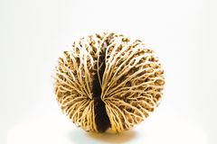 Cerbera odollam , seed ball Royalty Free Stock Image