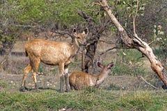 Cerbiatti dei cervi di Sambhar Immagini Stock Libere da Diritti