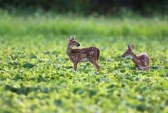 Cerbiatti dei cervi di Whitetailed Fotografia Stock