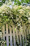 Cerca blanca con los arbustos florecientes Fotos de archivo