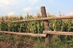 Cerca cerca del fild del maíz fotografía de archivo