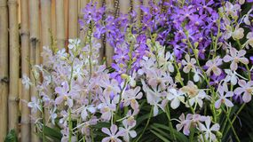 Cerca de bambu Thai Garden de Bud And Budding Orchids With fotografia de stock royalty free