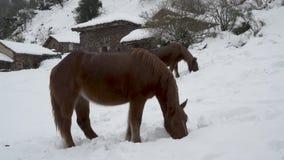 Cerca de la opinión dos caballos que buscan para la comida en un campo cubierto por la nieve almacen de metraje de vídeo