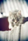 Cerca de madeira de passeio e olhar do vintage do gatinho pequeno do gato malhado in camera Fotografia de Stock Royalty Free