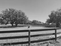 Cerca de madeira Horse no campo Imagens de Stock Royalty Free
