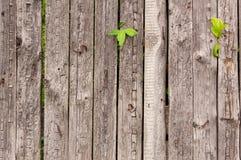 Cerca de madeira velha com tiros da hera Fotografia de Stock Royalty Free