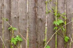 Cerca de madeira velha com tiros da hera Imagem de Stock Royalty Free