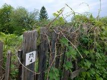 Cerca de madera sin pintar vieja de un jardín abandonado y las hojas de uvas salvajes imagen de archivo libre de regalías
