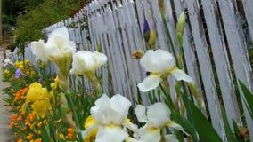 Cerca de piquete branca velha com descascamento da pintura e das flores em uma cidade pequena filme