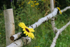 Cerca del abedul con la flor amarilla Fotografía de archivo libre de regalías