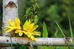 Cerca del abedul con la flor decorativa Foto de archivo libre de regalías