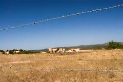 Cerca del alambre de púas, vaca de Brown Imagen de archivo libre de regalías