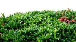 Cerca del arbusto Fotografía de archivo