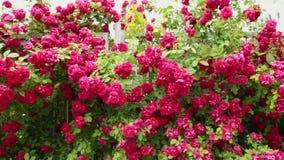 Cerca del jardín con centenares de rosas rojas Tiro de la cacerola almacen de video
