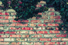 Cerca del ladrillo con textura de las hojas de la hiedra Imagen de archivo