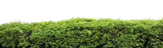 Cerca do arbusto Fotografia de Stock