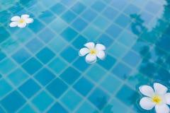 Cerca encima de tres flores blancas del Plumeria que flotan en la piscina fotografía de archivo libre de regalías