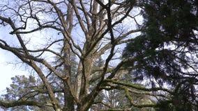 Cerca, 4k, cámara lenta El tronco y las ramas de un árbol gigante, cuyas ramas se cubren con el musgo metrajes