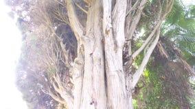 Cerca, 4k, cámara lenta tronco y ramas del ciprés imperecedero gigante almacen de metraje de vídeo