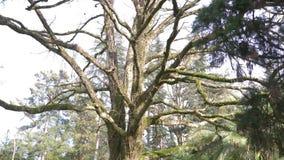 Cerca, 4k, c?mara lenta El tronco y las ramas de un ?rbol gigante, cuyas ramas se cubren con el musgo almacen de video