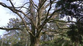 Cerca, 4k, c?mara lenta El tronco y las ramas de un ?rbol gigante, cuyas ramas se cubren con el musgo metrajes