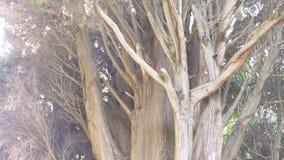 Cerca, 4k, c?mara lenta tronco y ramas del cipr?s imperecedero gigante almacen de metraje de vídeo