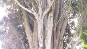 Cerca, 4k, c?mara lenta tronco y ramas del cipr?s imperecedero gigante metrajes