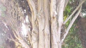 Cerca, 4k, c?mara lenta tronco y ramas del cipr?s imperecedero gigante almacen de video