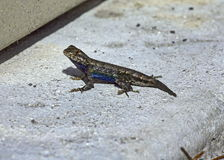 Cerca Lizard Fotos de Stock