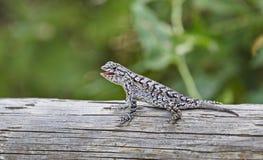 Cerca Lizard Imagem de Stock