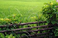Cerca natural y el campo del arroz Imagen de archivo