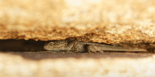 Cerca occidental Lizard que oculta entre dos cantos rodados Fotografía de archivo