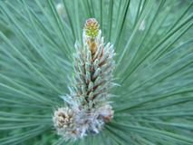 Cerca - para arriba de una rama de una rama del pino con agujas y un cono futuro fotografía de archivo