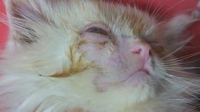 Cerca para arriba, las manos humanas procesan los ojos de poco gato Concepto veterinario, descensos de ojo para los animales Sin  metrajes