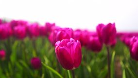 Cerca para arriba vea los oscilaciones rosados de los tulipanes en el viento en campo colorido del tulipán metrajes