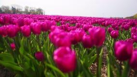 Cerca para arriba vea los oscilaciones rosados de los tulipanes en el viento en campo colorido del tulip?n metrajes