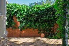 Cerca roja de la pared de ladrillo y uvas salvajes que cuelgan abajo en ella Imagen de archivo