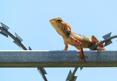 Cerca tropical Lizard, Calotes del jardín versicolor, descansando sobre una cerca del metal imagenes de archivo
