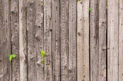 Cerca velha de madeira de placas incolores com brotado através dela wi Fotografia de Stock Royalty Free