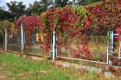 Cerca vieja con las hojas coloridas del fondo salvaje del otoño de la naturaleza de las uvas Foto de archivo libre de regalías