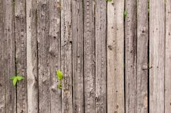 Cerca vieja de madera de tableros incoloros con brotado a través de ella los wi Fotografía de archivo libre de regalías