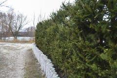 Cerca viva natural de árboles Imagen de archivo libre de regalías
