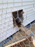Cercado del alambre de pollo Imagenes de archivo