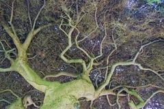 Cercando attraverso il centro di questo grande albero alto magnifico immagine stock libera da diritti
