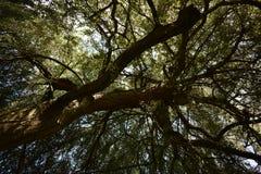 Cercando attraverso il centro di questo grande albero alto magnifico fotografie stock