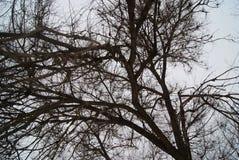 Cercando con un groviglio sfrondato dei rami su un cielo di inverno Fotografia Stock Libera da Diritti