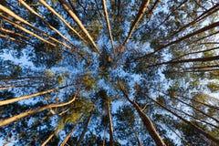 Cercando da sotto i pini Fotografia Stock Libera da Diritti